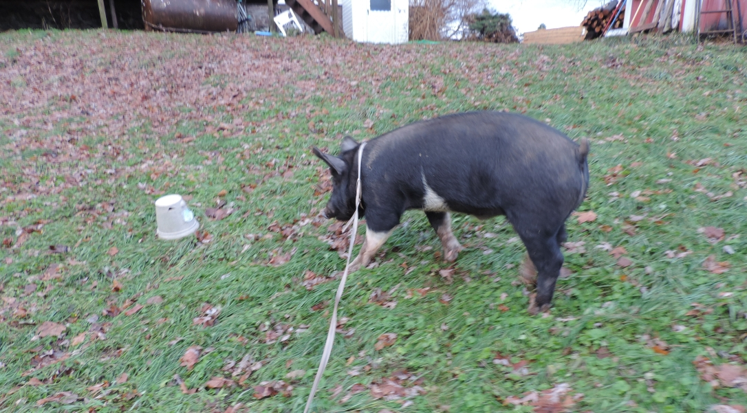 Leashed Pig